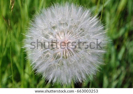 Perfect White Dandelion Puff Ball Sphere Stock Photo Edit Now