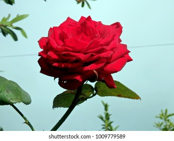 The perfect wild red rose