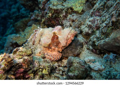 Perfectly camouflaged and disguised stone fish or Skorpions fish waiting for prey in the red Sea in Egypt