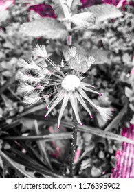 Perfectly imperfect dandilion make your wishes early in the day.