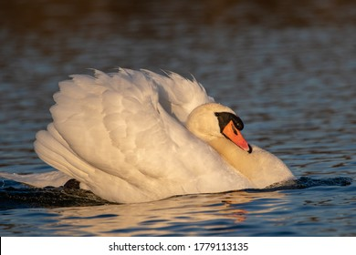 Perfectly lit portrait of a male swan