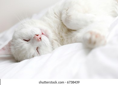 perfectly white cat sleeping