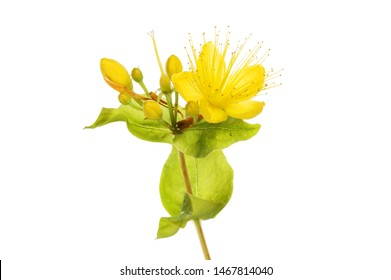Perforate St John's-wort, Hypericum perforatum, flower and foliage against white