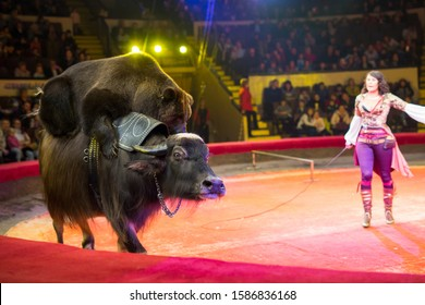 performance of brown bears buffalo in the circus arena