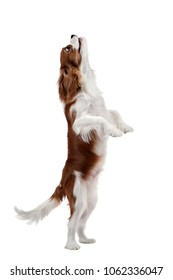 performing pure-bred dog, puppy Cavalier King Charles Spaniel, stand up on hind legs, isolated