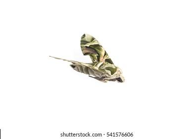 Pergesa acteus or Hawk moths