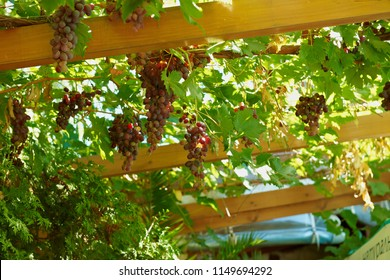 pergola with grape, vitis