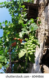 Pergola of plant of grapevine with vine leaf and bunch of grapes