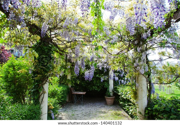 pergola with tendrils of Chinese Wisteria
