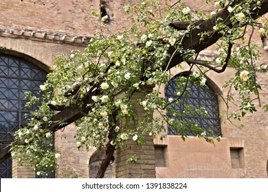 Pergola of white roses on wooden beam. Garden in the archaeological area of Rome with a pergola of roses.