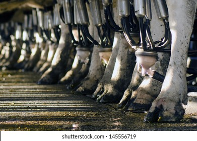 PERIA, NZ - JULY 07:Row of cows legs in a milking facility on July 07 2013.The income from dairy farming is now a major part of the New Zealand economy, becoming an NZ$11 billion industry by 2010.