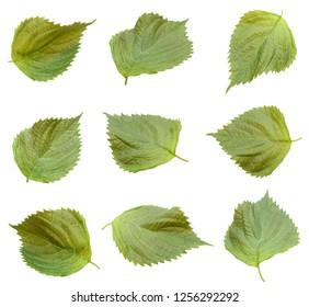 Perilla leaf isolated white background