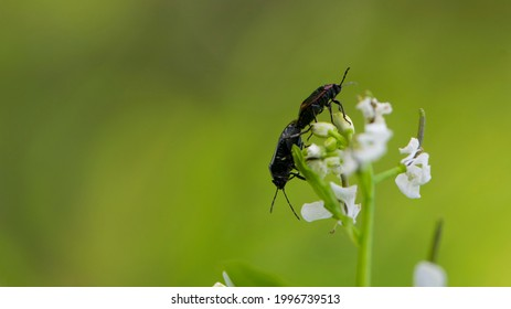 Perillus bioculatus. Shield Bugs mating. two beetles mate, insects reproduce, continuation of the genus. Heteroptera. Pentatomidae. macro photo of nature. natural background. bug close-up