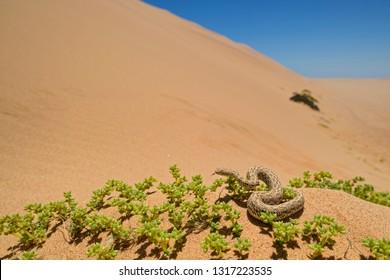 Peringuey's Adder - Bitis peringueyi, small venomous viper from Namib desert, Walvis Bay, Namibia.