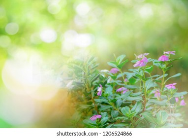 periwinkle flower nature green background / Madagascar periwinkle flower pink purple in garden Spring blur green bokeh - flowering plants in the family Apocynaceae / Ludwigia adscendens (Vinca mino
