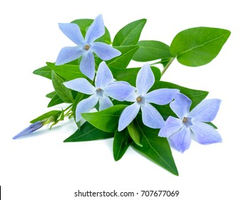periwinkle flowers isolated on white
