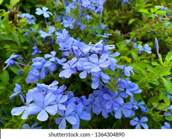Periwinkle flowers also known as bigleaf periwinkle, large periwinkle, greater periwinkle or Vinca major