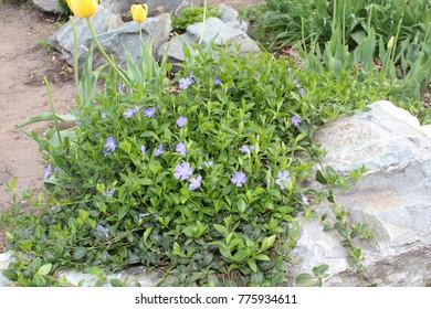 Periwinkle flowers spring bloom in the garden