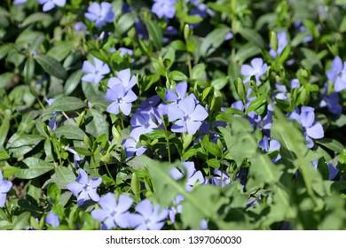 Periwinkle flowers (Vinca minor) blooming in the spring garden