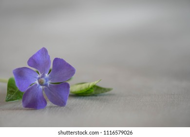 periwinkle on  light wooden background