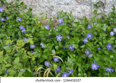 Periwinkle (Vinca minor 'Bowles) in a Country Cottage Garden in Rural Cumbria, England, UK