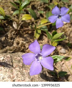 Periwinkle (Vinca minor, lesser periwinkle, small or common periwinkle, ) spring plant with green glossy leaves and blue flowers. Young spring flowers. Periwinkle blooms, close-up, blurred background