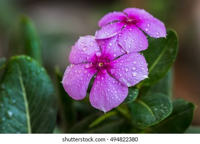 Periwinkle (Vinca minor) a summer flower is a genus of flowering plants in the family Apocynaceae, native to Europe, northwest Africa and southwest Asia