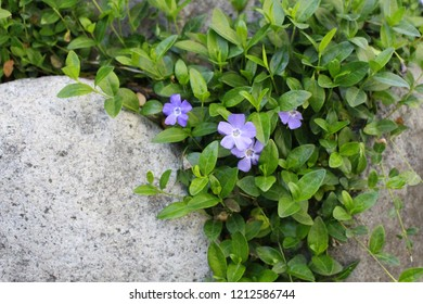 Periwinkles growing around rocks.