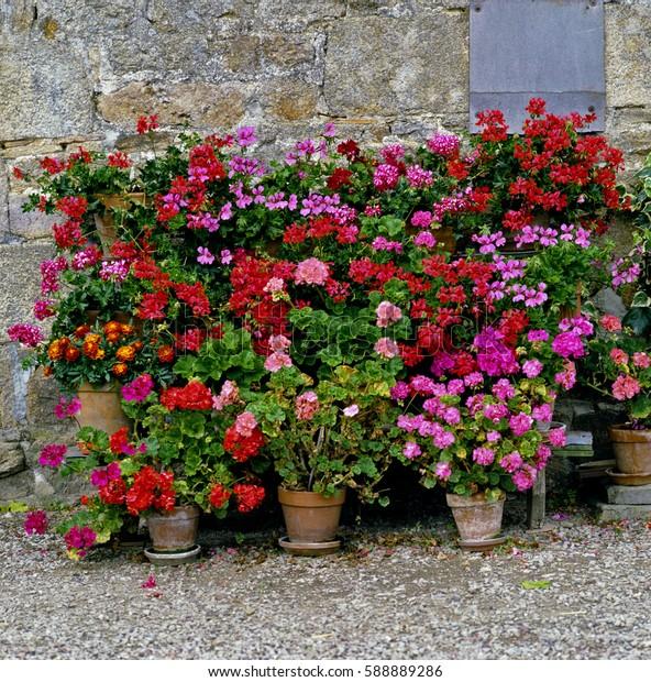 Perlagoniums in a Normandy garden
