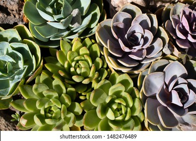 Perle von nurberg or Echeveria. Beautiful background of succulents. Succulents grow on a natural background in the garden.