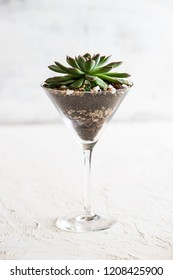 Perle Von Nurnberg plant in a glass as a gift composition