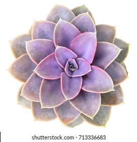 Perle Von Nurnberg Succulent