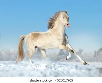 perlino akhal-teke horse running free on the winter field