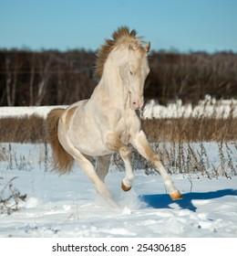 perlino akhal-teke stallion in snow