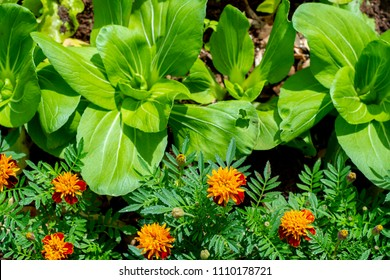 Permaculture - Planting Marigold flowers with lettuce and Pak Choi Tai Sai plant - Sustainable bio agriculture