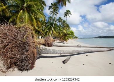 Tamandaré, Pernambuco / Brazil -  09/16/2015: Coconut tree overturned by sea erosion in Carneiros Beach, south coast of Pernambuco