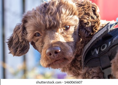 Pernis, Zuid Holland, Netherlands - 06 01 2019: Maltipoo Poodle Maltheser Lion crossing breed in free environment