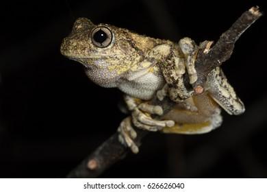Peron's Tree Frog (Litoria peroni) climbing on a branch at night. Minyon Falls, Nightcap National Park, NSW, Australia.