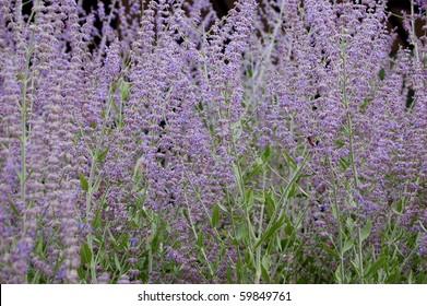 Perovskia atriplicifolium
