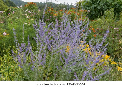 Perovskia 'Blue Spire' (Russian Sage) in a Colourful Herbaceous Border in a Country Cottage Garden in Rural Devon, England, UK