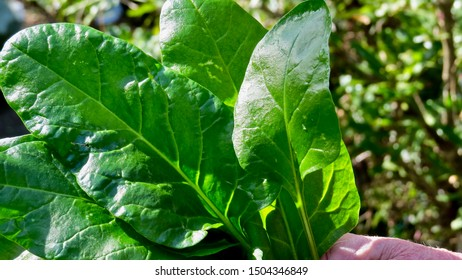 Perpetual Green Spinach held in the hand