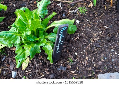 Perpetual spinach growing in a vegetable patch