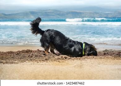 Perro jugando a cavar un hoyo en la arena de la playa.