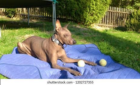 perro sin pelo del peru grande, big peruvian hairless dog