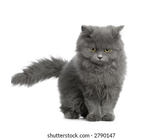 Persan in front of a white background