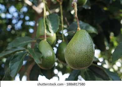 Persea americana - Big and fresh tropical avocado hanging from the tree