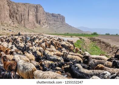 Persia - a goat herd near Persepolis