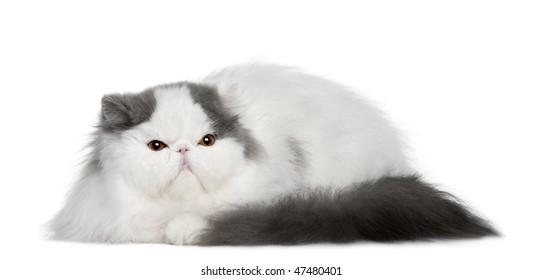 Persian (4 monhs old) in front of a white background