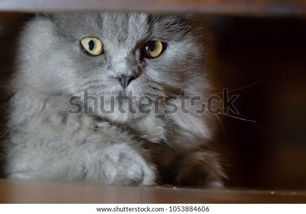 Persian Blue Cat Stock Photo Edit Now 1053884606