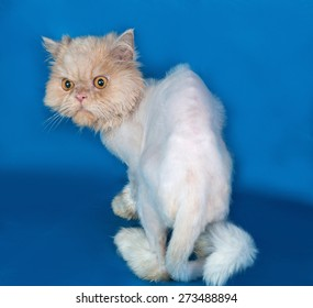 Persian bobbed cat sitting on blue background
